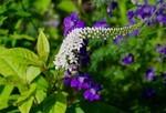 「オカトラノオ(岡虎の尾)」の花。