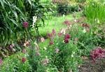 「金魚草」の花が見頃…。