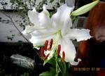 「玄関先の「カサブランカ・ユリ」の花