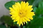 「花は咲く」の「ガーベラ」の花…。