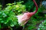 翌朝に、萎れた「月花美人」の花。