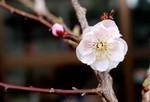 開花の一番乗りは、「八重咲きウメ(梅