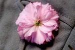 「里桜・関山」の花。(29.5.3)