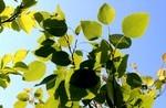 「ヤマナラシ(山鳴らし)」の葉が、揺