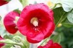 裏道の「タチアオイ(立葵)」の花。