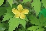 咲き始めた「ゴーヤの雄花」。