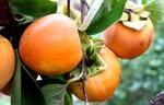 収穫適期の「蜂屋柿」。