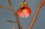 野鳥に啄まれた「守り柿」…。