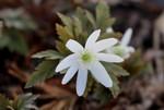 「キクザキイチゲ(菊咲一華)」の花。