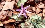 咲き始めた、「カタクリ(片栗)」の花