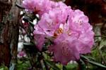 豪華な「ツクシシャクナゲ(築紫石楠花