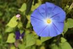 アメリカ朝顔・ヘヴンリーブルー」の花