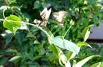 2羽のアゲハ蝶が乱舞…。