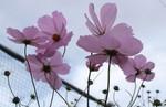 裏道花壇の「コスモス」の花。