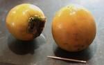 寒冷の佐久で採れた「甘柿」。