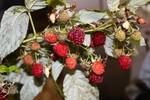 今シーズン最終の「ラズベリー」の果実