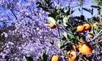 テレビ画像・「鬼石の冬桜とミカン」