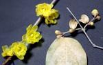 「ロウバイ(臘・蠟梅」の花。