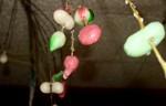 小正月の「まゆ玉」飾り。