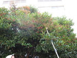 珊瑚樹はたわわに実をつけました。